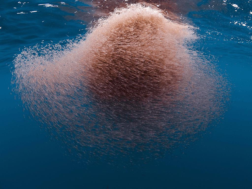 krill y aceite de pescado